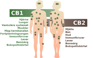 Endocannabinoid-systemet med CB1- och CB2-receptorerna i människokroppen